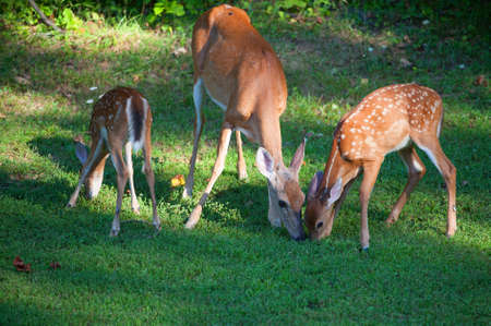 black tail deer: Doe and two fawns in spots that are eating