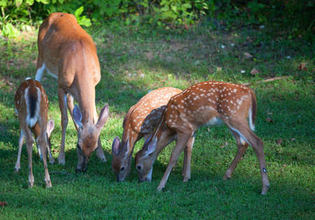 black tail deer: Three whitetail deer fawns and a doe eating some grass