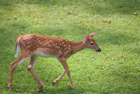 Whitetail deer fawn in spots that is walking toward something photo