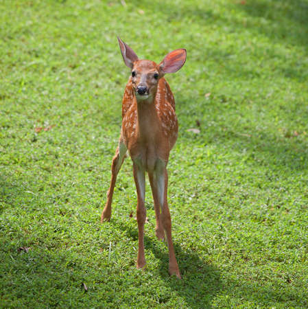 Whitetail deer fawn that appears to have seen the camera photo