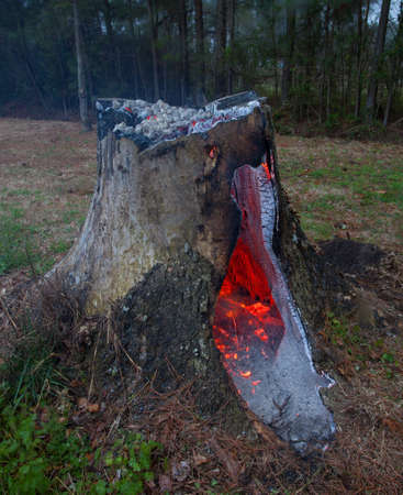 coals: Hollow tree stump with hole coals smoldering in the middle
