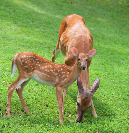 Whitetail doe and its fawn that are out in the morning photo
