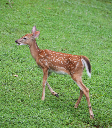 Whitetail deer fawn that is walking away from the camera photo