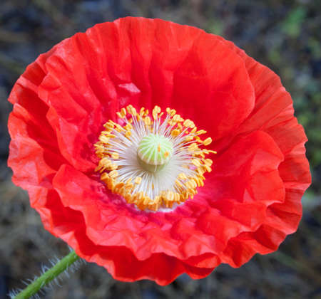 recently: Big red poppy flower that has recently opened up