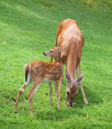 Whitetail deer fawn looking at something while a doe eats photo