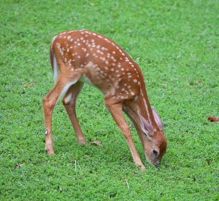 Whitetail deer fawn in spots eating on the grass photo