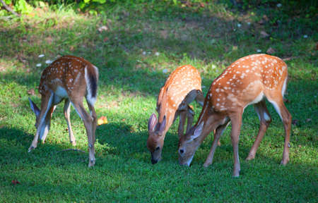 black tail deer: Three whitetail deer fawns that are in spots on the grass