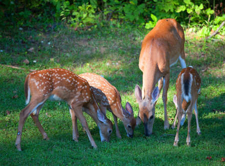 black tail deer: Three whitetail fawns eating the grass with a doe