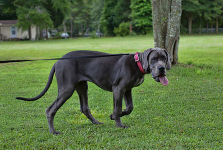 way out: Grey Great Dane with its tongue sticking way out