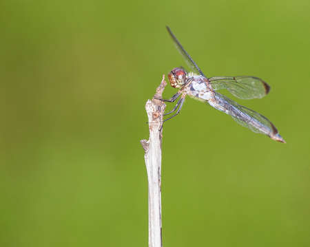 brown  eyed: Brown eyed dragonfly that is waiting on a stick
