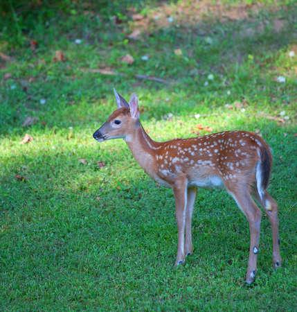 venado cola blanca: Cervatillo de los ciervos de cola blanca en un campo de hierba en el d�a