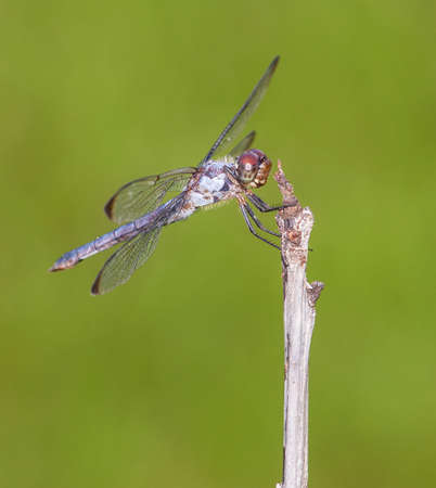 brown  eyed: Brown eyed dragonfly that has a lot of hair on its legs