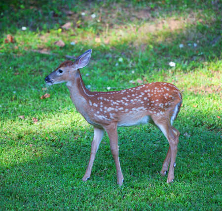 Whitetail deer fawn with spots walking on the grass