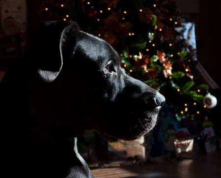 guard house: Black Great Dane on Guard in a house with a Christmas tree Stock Photo