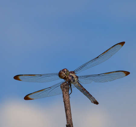 dragonfly wings: Big dragonfly on a stick that is watching for a meal Stock Photo