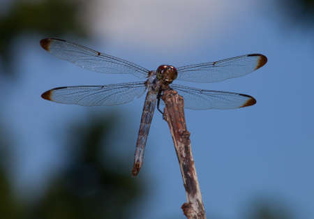 brown  eyed: Brown eyed dragonfly his on a stick hunting for bugs to eat Stock Photo