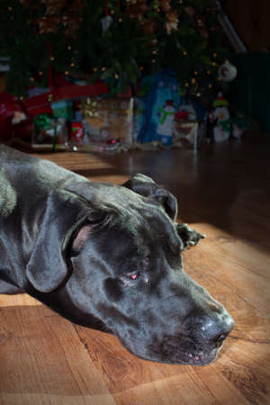 great dane: Black Great Dane dozing off in front of a Christmas tree Stock Photo