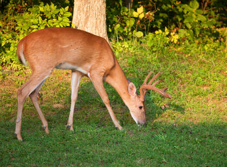 black tail deer: Whitetail buck with velvet antlers eating next to a forest