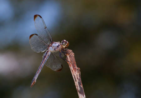 brown  eyed: Brown eyed dragonfly on a stick looking for a bug to eat