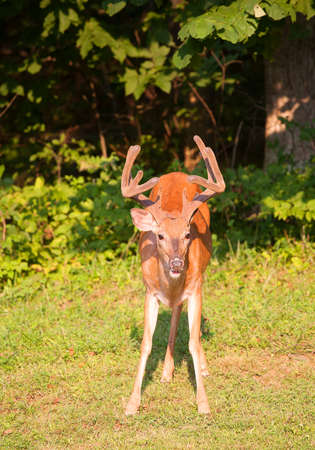 black tail deer: Big whitetail buck at a forest edge with velvet antlers
