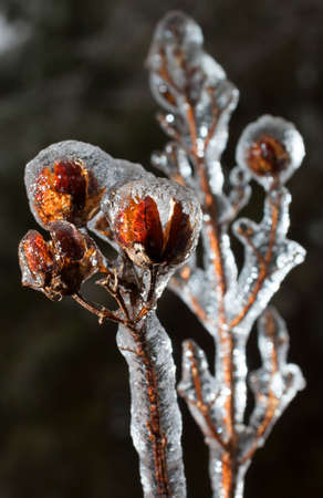 ice storm: After an ice storm this crape myrtle is covered in ice Stock Photo