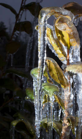 the residue: Residue from an ice storm includes long icicles on a plant