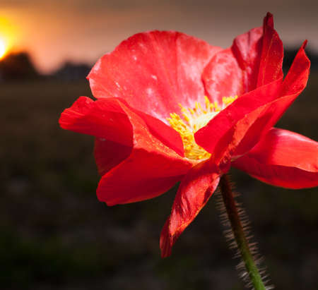 Bright red poppy toward the sun as it goes down
