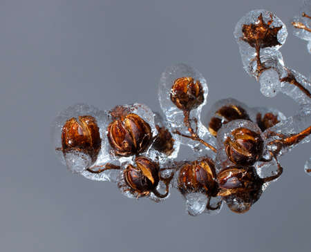 myrtle: Crape myrtle tree covered in ice after a storm Stock Photo