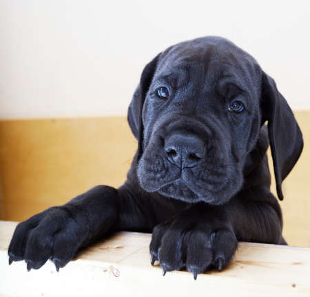 great: Black Great Dane puppy standing on the side of a box