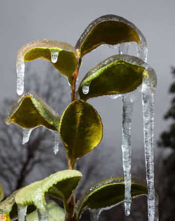 ice storm: Plant with leaves and icicles after an ice storm