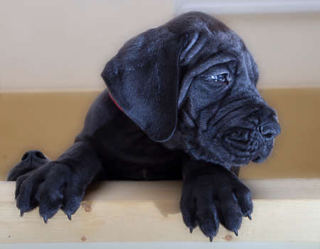 Black Great Dane puppy with another ones nose to the left