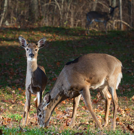 black tail deer: Doe with an older yearling deer that have come close to the camera