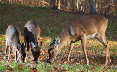 doe: Doe and two of its yearlings eating in a grassy field