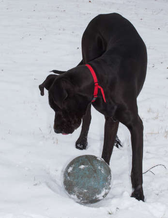 dane: Black Great Dane in the snow playing with a ball Stock Photo