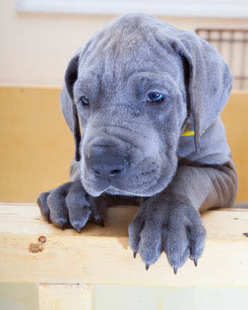 wood crate: Great Dane puppy looking sad in its wood crate Stock Photo