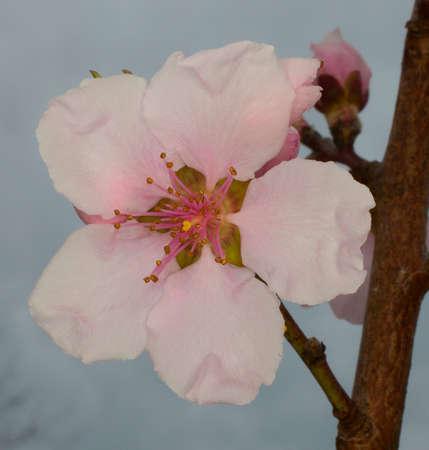 春先に登場したネクタリンの木にピンクの花。 写真素材