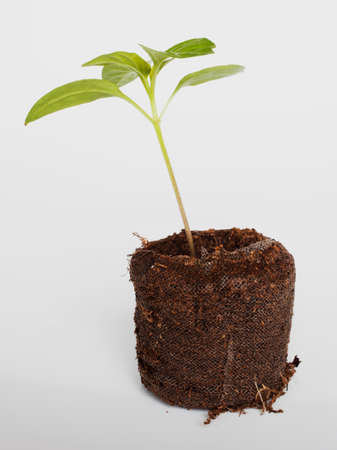 Green chili seedling in a potting mix that is large enough to be planted with a white background