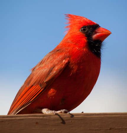 plummage: Cardenal rojo brillante en una tabla en una cubierta marr�n manchado con el cielo azul detr�s