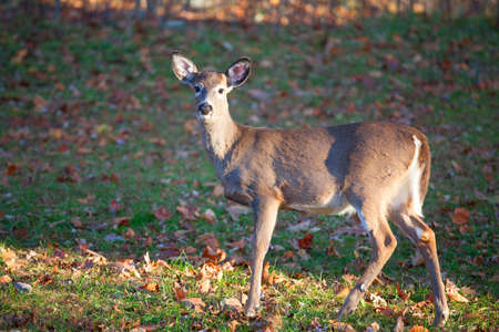 white tail deer: Single whitetail standing on the grass with some leaves