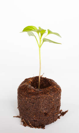 potting: Green chili seedling in potting soil with a white background