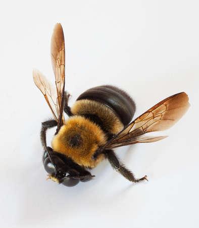흰색 배경에 남성 목수 꿀벌