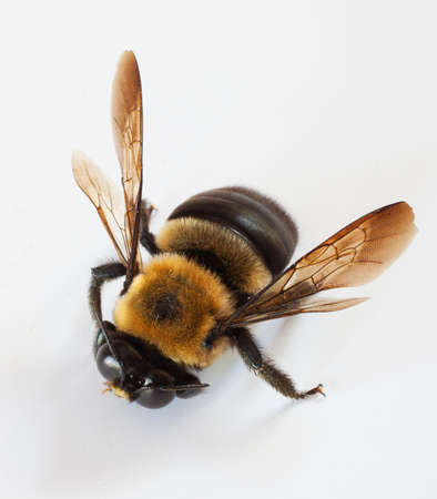 Carpenter bee that is a male on a white background