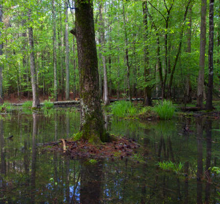 inches: Forest that has several inches of water across its floor Stock Photo