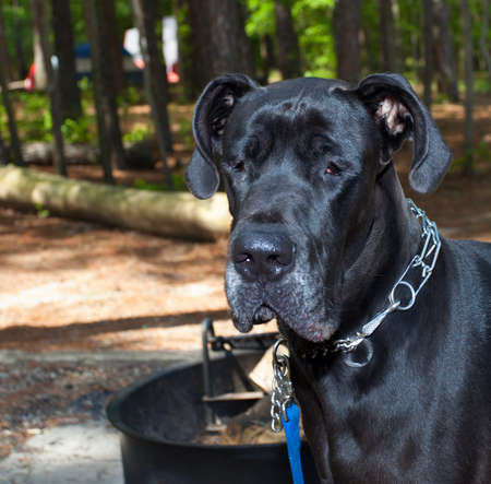 barely: Black Great Dane with his eyes barely open at a forested campground Stock Photo
