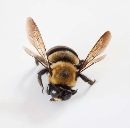 feelers: Male carpenter bee on white that has been injured