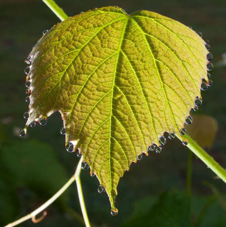clinging: Large grape leaf that has big dew drops clinging to its side