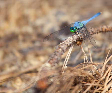 pine needles: Blue dragonfly on wood with pine needles underneath Stock Photo