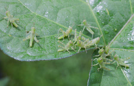 grasshoppers: Newborn grasshoppers that are speading out on a leaf with morning dew