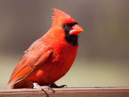 plummage: Cardenal rojo brillante de pie sobre un carril de color marr�n con un fondo marr�n y marr�n