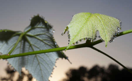 grapevine: Leaves and vines on a grapevine dripping with morning dew